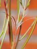 Samen Kleinblütige Weidenröschen - Epilobium parviflorum