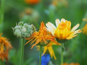 Pflanzengrüße aus Nachbars Garten