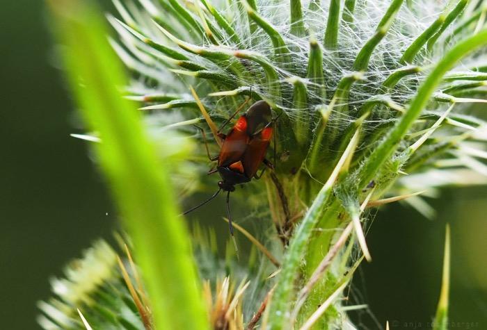 Rote Weichwanze - Deraeocoris ruber