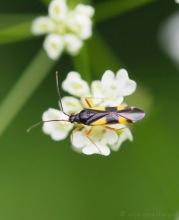 Vierfleck Eichenwanze - Dryophilocoris flavoquadrimaculatus