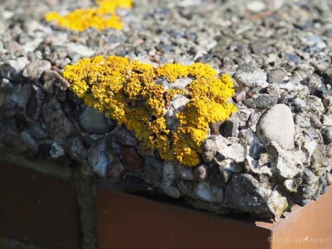 Gewöhnliche Gelbflechte - Xanthoria parietina auf Waschbetonplatten