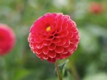 Roter Pompom Blütentraum