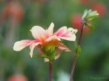 Blütenpracht im Dahliengarten