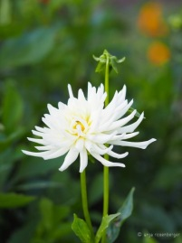 Zarte weiße Blütenpracht