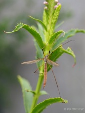 Wohl ein Kohlschnaken Weibchen - Tipula oleracea