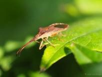 Braune Randwanze - Gonocerus acuteangulatus