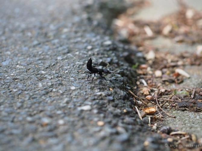 Schwarzer Moderkäfer - Ocypus olens in Drohstellung flüchtend