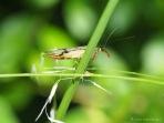 Skorpionsfliege - Panorpidae