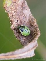 Grüne Stinkwanze Larve - Palomena prasina