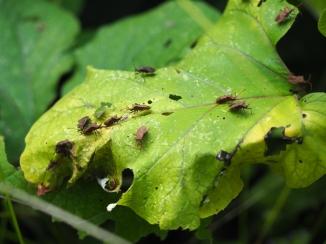 Wanzenalarm im Wald - Lederwanzen und Grüne Stinkwanzen auf einem Blatt