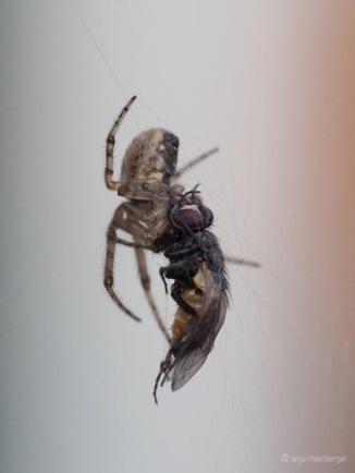Spinne hat Fliege gefangen
