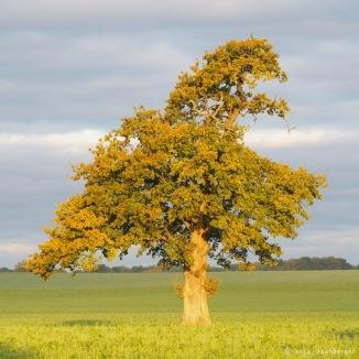 Lieblingsbaum im Herbstkleid beim Sonnenaufgang