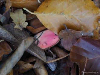Pinke Eicheln im Laub