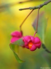 Herbstliches Pfaffenhütchen