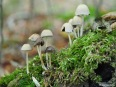 Kleine Pilzversammlung auf Moos