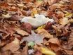 Gebettet in Herbstlaub - nur seine helle Farbe macht ihn sichtbar