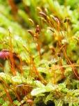 Moos Samenstände auf einem Stubben