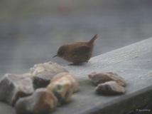 Winzig kleiner Zaunkönig zu Gast auf dem Balkon