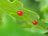 Rote Gallen der Espengallmücke