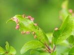 Rosafarbene Blattrandverwachsungen
