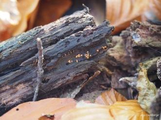 Kleines Stück Totholz mit noch viel kleineren Fruchtkörpern des Rotköpfigen Schleimpilzes
