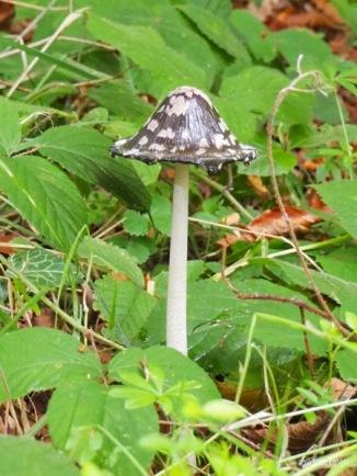 Spechttintling (Coprinopsis picacea) beginnt zu tropfen