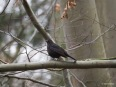 Amsel in Pose