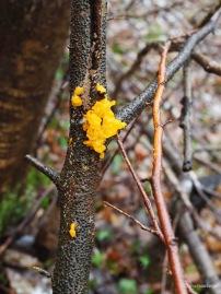 Goldgelber Zitterling - Tremella mesenterica