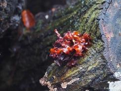 Rotbrauner, bzw. Blattartiger Zitterling