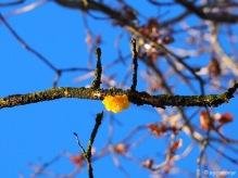 Goldgelber Zitterling (Tremella mesenterica) in einem Baum