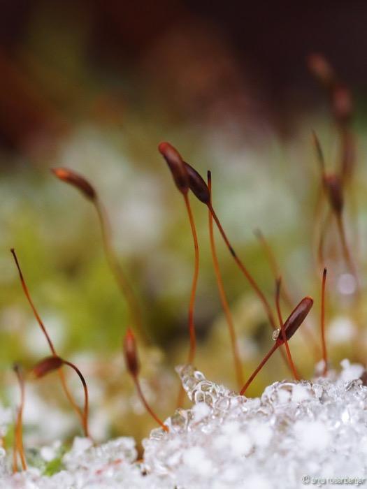 Moos Samen mit Schneekristallen