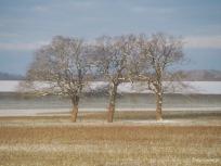 3 Bäume in der Morgensonne im Schnee
