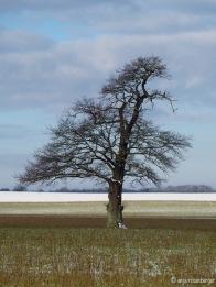 Lieblingsbaum auf Acker mit Schnee auf den Ästen