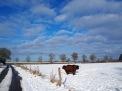 2 Gallowayrinder auf schneebedecktem Feld