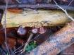 Judasohren (Auricularia auricula-judae) an Holunder