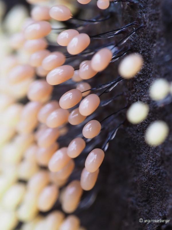 Fruchtkörper des Wollkugelschleimpilzes - Comatrichia nigra