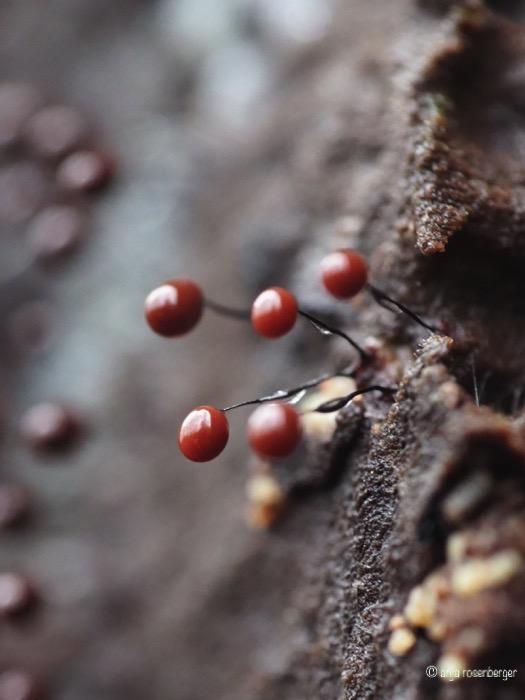 Rote Fruchtkörper des Wollkugelschleimpilzes - Comatrichia nigra