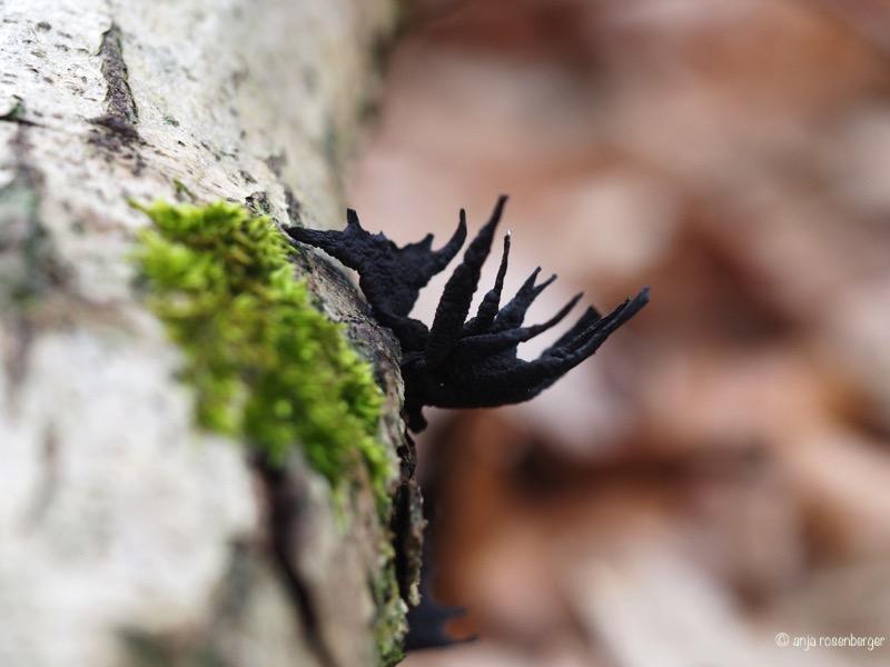 Geweihförmige Holzkeule im Winter