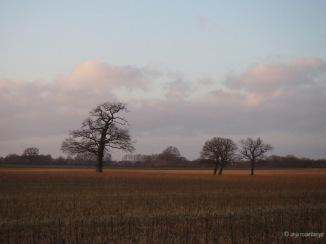 Drei Bäume im Abendlicht auf einem Feld