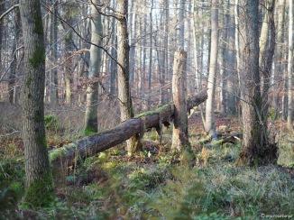 Idyllisches Totholz im Wald