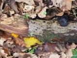 Pilze auf kleinem Totholz Ast Goldgelber Zitterling Drüsling