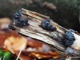 Drüsling auf Totholz