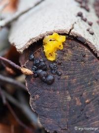 Tremella mesenterica - Goldgelber Zitterling und Stoppeliger Drüsling