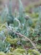 Cladonia fimbriata Trompetenflechte