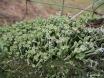 Cladonia fimbriata Trompetenflechte auf Zaunpfahl