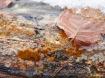 Schleimpilz Plasmodium Badhamia