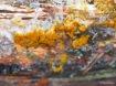 Plasmodium Schleimpilz Badhamia