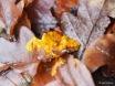 Schleimpilz Plasmodium auf Laub Waldboden