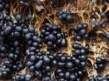 Fruchtkörper Badhamia Schleimpilz