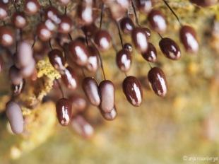 Comatricha nigra - Wollkugelschleimpilz Myxomyceten Schleimpilz